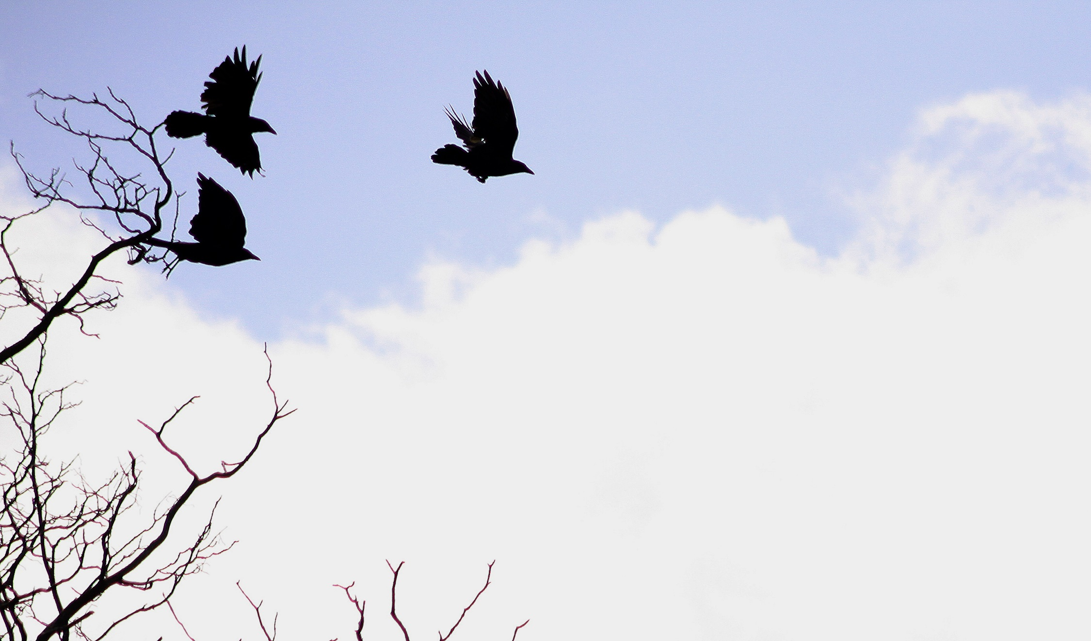 Flying Crows.
