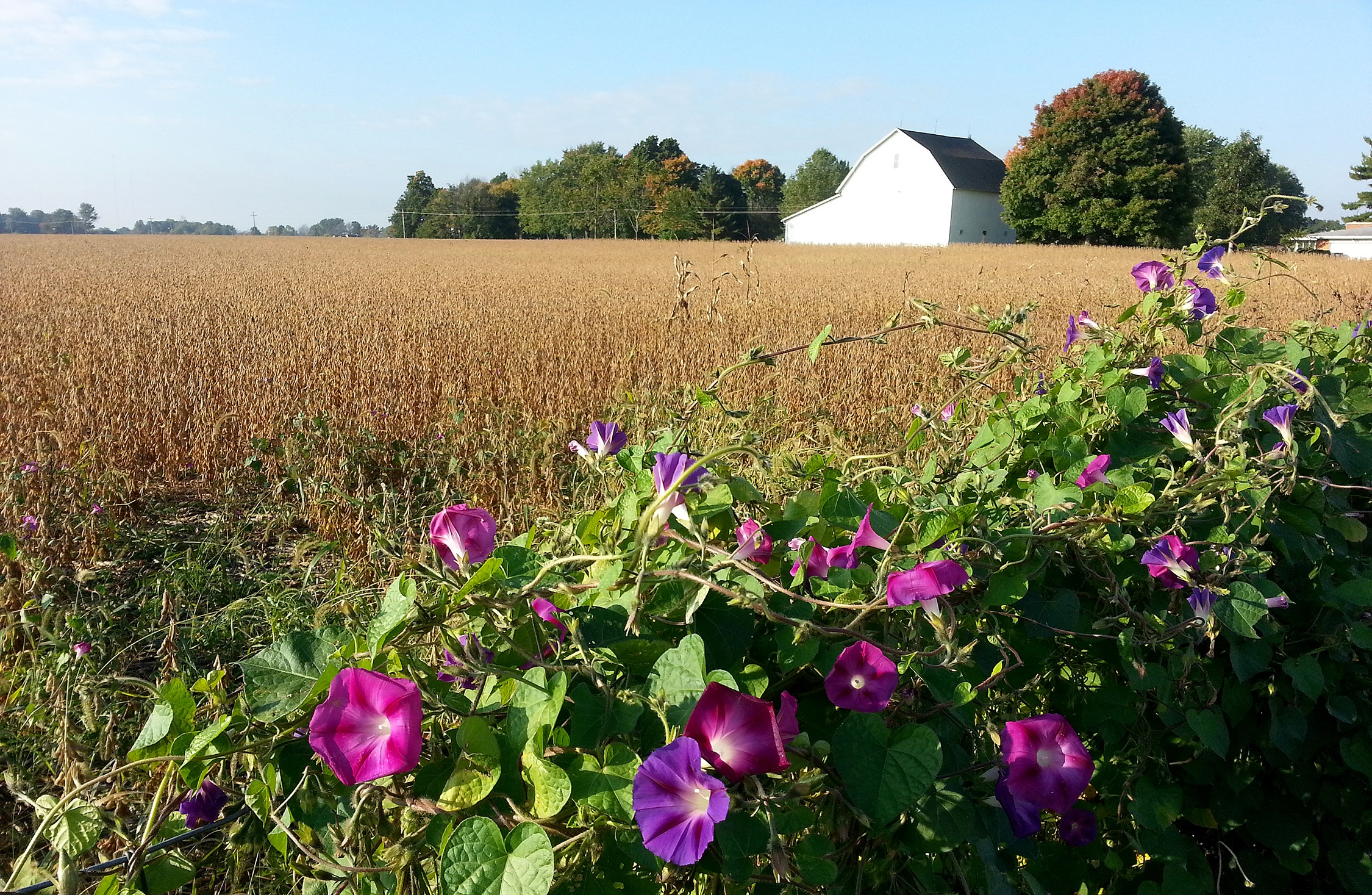 Morning Glories by the Soybeans