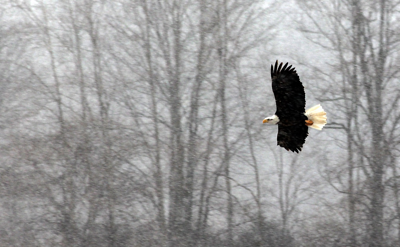 A bald eagle surveys his territory during a snow covered day.